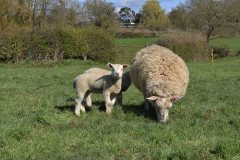 Texel x Mule ewe with 4 week old Charmoise twins from J. Faulkner