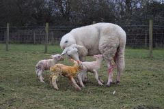 Exlana shearling with her Charmoise triplets from J. Faulkner