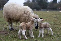 Welsh mule with newly born Charmoise lambs from J. Faulkner