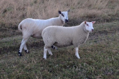 Welsh mule ewe with 12 week old Charmoise lamb, 44kgs from J. Faulkner