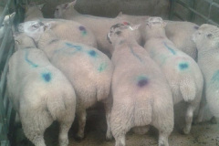 March/April born Charmoise sired lambs, 42kgs average at market end of June from J. Faulkner