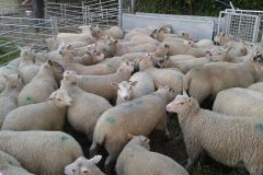 Ten week old Charmoise sired lambs from J. Faulkner