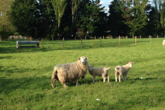 "Romney ewe with Charmoise lambs ""6-7 weeks old, 17-19 kgs for the twins 20-24 for the singles"" on grass alone from J. McNulty"