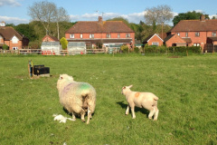 "Romney ewe with Charmoise lamb ""6-7 weeks old, 17-19 kgs for the twins 20-24 for the singles"" on grass alone from J. McNulty"