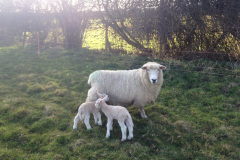 Romney ewe with outdoor born day old Charmoise lambs from J. McNulty