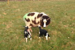 Jacob ewe with newly born out door Charmoise lambs from J. McNulty