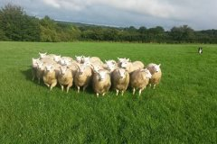 Easter born Charmoise cross lambs from T. Lloyd off to Cardigan market in August. Average 41kg, grass fed from Lleyn ewes.