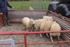 Easter born Charmoise lambs from T. Lloyd out of Lleyn ewes, off to the Market in July, weighing 40kgs