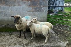 March born twins end shown here at end of May, Charmoise sired out of Suffolk cross ewes, From Osian Roberts, Caernarfon Hafod Ucha farm.