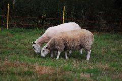 Welsh mule ewe lamb with Charmoise lamb, 12 weeks old