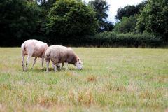 Welsh mule ewe lamb with Charmoise cross lamb, 12 weeks old