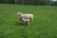 Welsh mule x Charmoise ewe lamb with Charmoise sired lamb, 2 weeks old from J. Faulkner