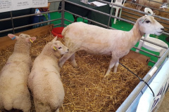 Pure Lleyn ewe lamb with her twin Charmoise sired lambs on the society stand