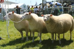 Charmoise ram, senior ewe and ewe lamb from the Minyffordd flock, winning best in class at the Royal Welsh Show 2016