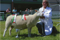 Senior ewe from the Minyffordd flock, winning Senior ewe class and then the Champion female class before winning overall Champion Charmoise at the Royal Welsh show 2016
